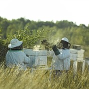 Harvesting the hives